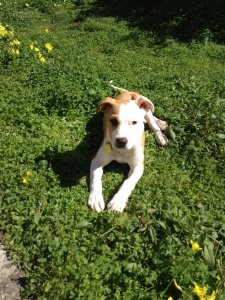New addition Miso is a sweet and very smart pup who...